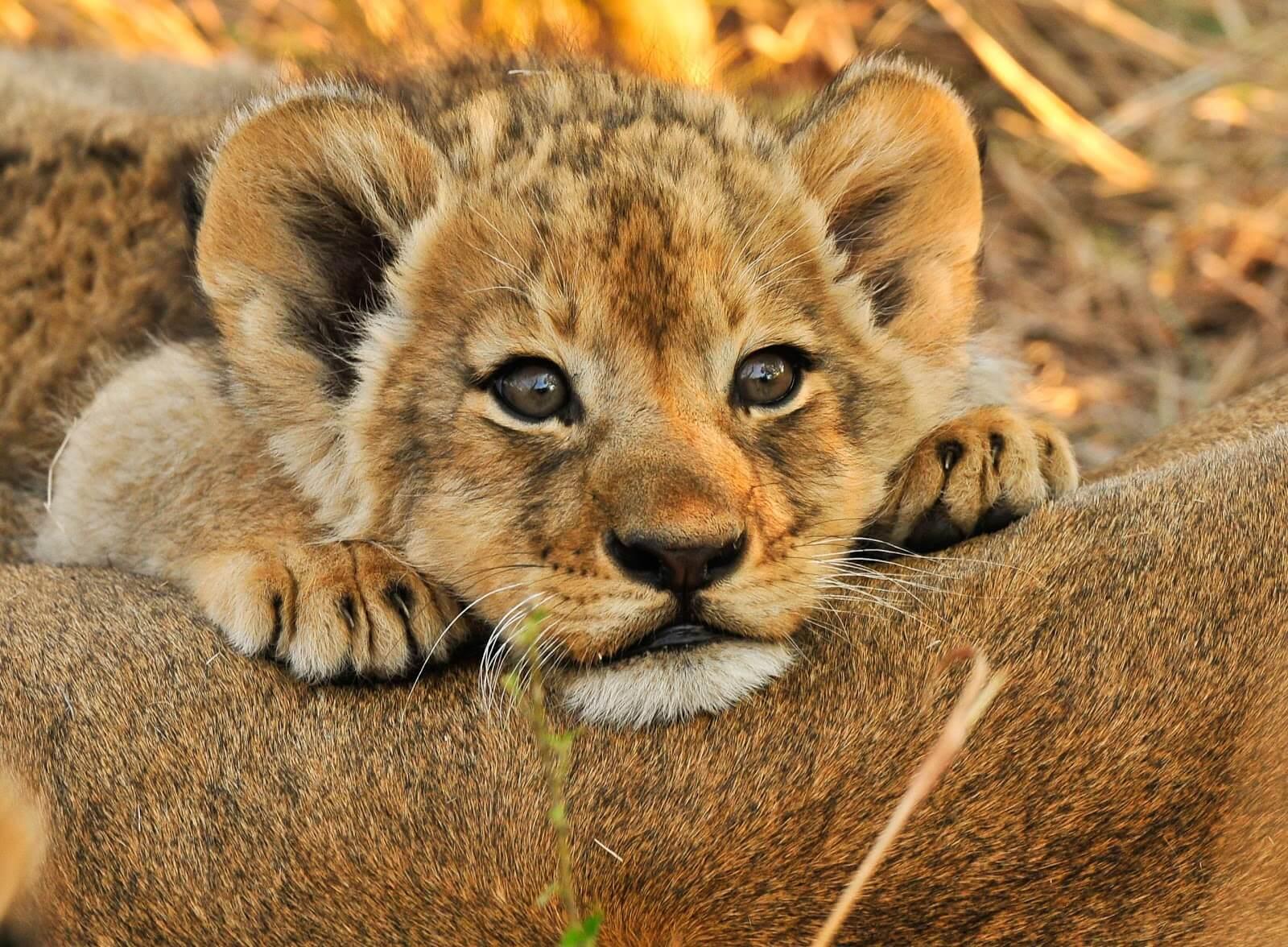 фото львенка в хорошем качестве как учителям
